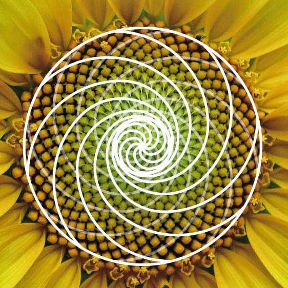 regla aurea proporciones en la naturaleza
