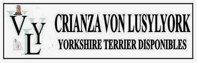 ♥CRIANZA VON LUSYLYORK  YORKSHIRES DISPONIBLES♥
