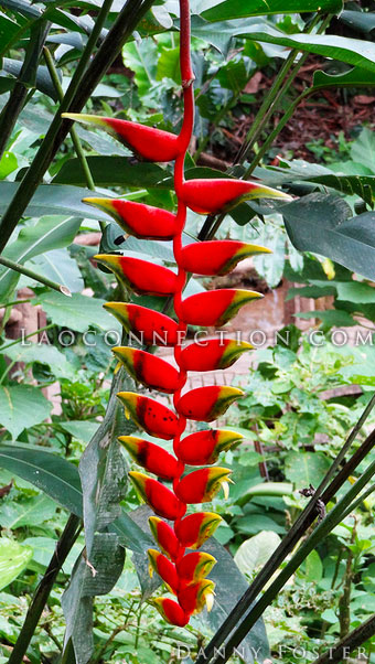 Heliconia plant aka Lobster claw plant
