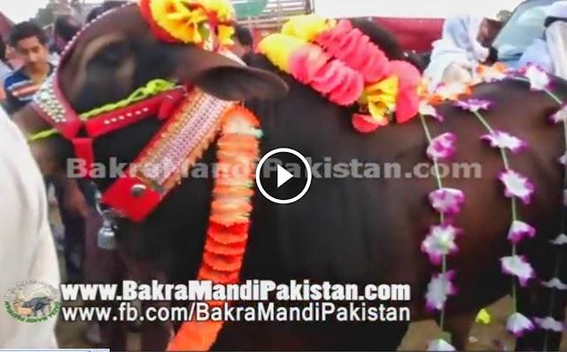 Qurbani 2014 Janwar Ka Soda Hotay Hoay in Cow Mandi For ...