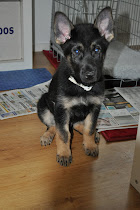 Little Geo - a German Shepard
