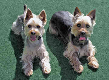 Silky Terrier Puppy Pictures