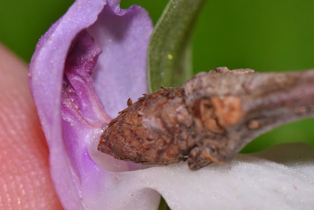 pollination mechanism of the Showy Orchis