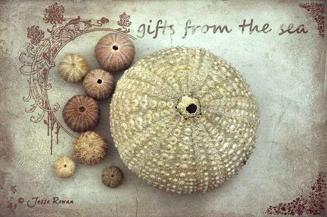 Sea urchins by Jesse Rowan