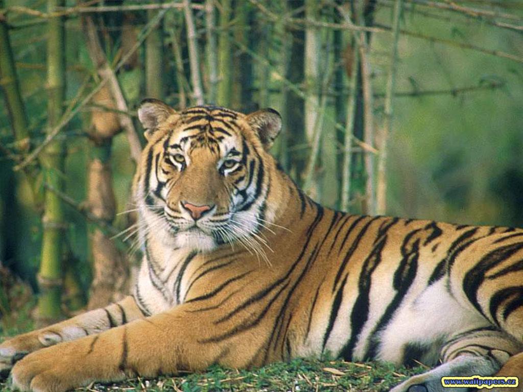 http://4.bp.blogspot.com/-pRGACBEM-wQ/TfOpxyfXoRI/AAAAAAAAC4g/fd4APwEzVwA/s1600/animal%2Btiger-wallpaper-1.jpg
