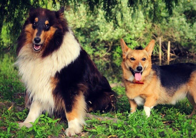 Collie and Corgi
