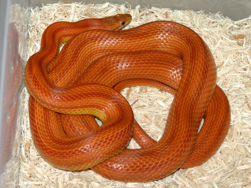 Bloodred Stripe Corn Snake Picture of Striped Corn Snake