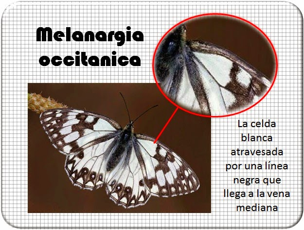 Celda de la Melanargia occitanica