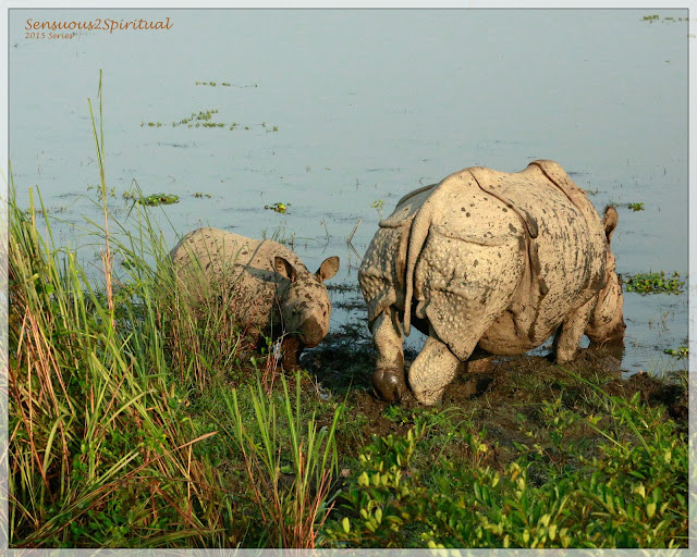 Kaziranga Rhinoceros Wildlife Wilderness Sanctuary Joldapara