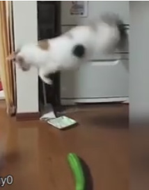 katter rädda för gurka