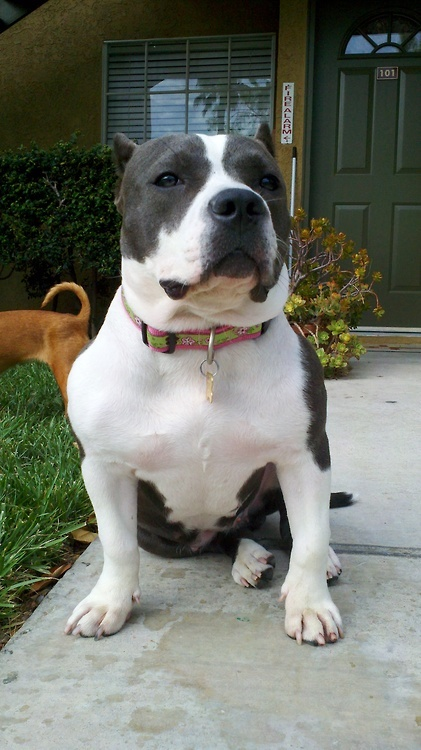 Is Pit Bull a good guard dog ? - Annie Many