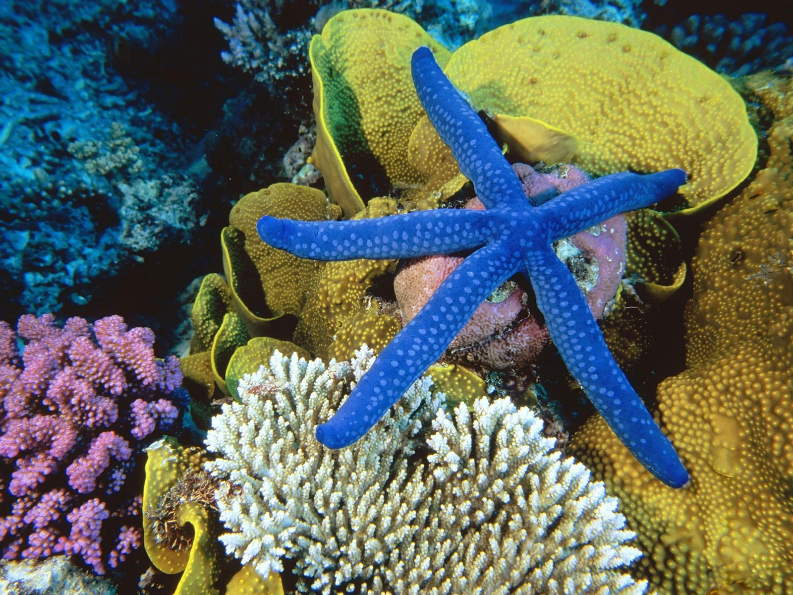 http://4.bp.blogspot.com/-pS3wgMTEPYA/TZXA3yidNgI/AAAAAAAAB5w/qOjrtViJR60/s1600/blue-starfish---coral-reef-life-1600-x-1200-animal-wallpaper-desktop.jpg