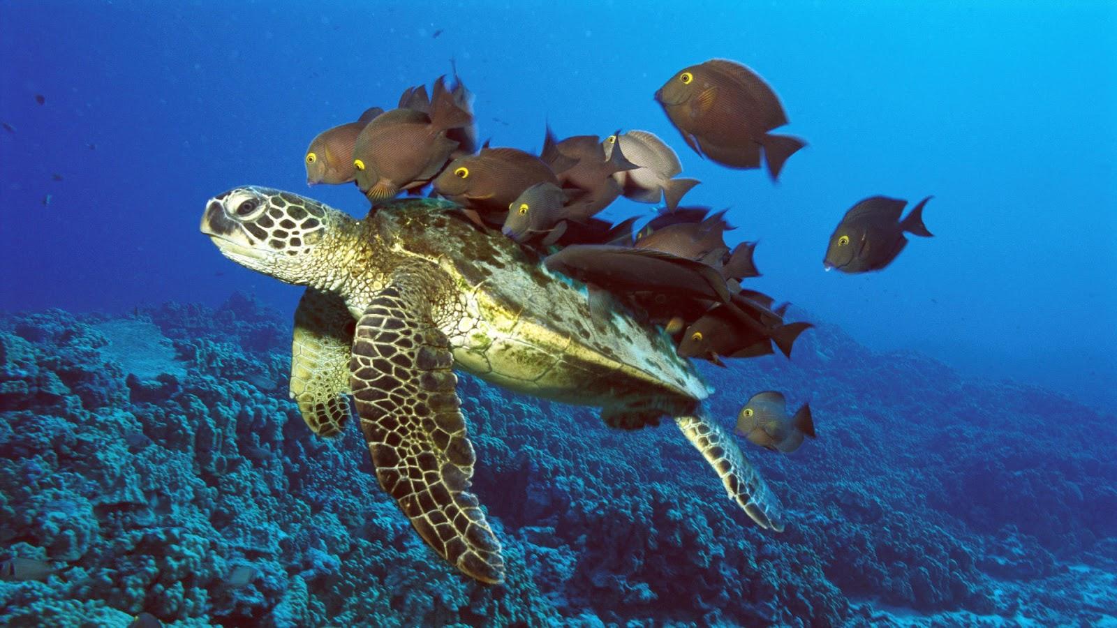 http://4.bp.blogspot.com/-pSFaoGIWeCY/UHa7zM_5EaI/AAAAAAAAGmk/Gqb5NO8eEIw/s1600/Sea_Turtle_Wallpaper_7.jpg