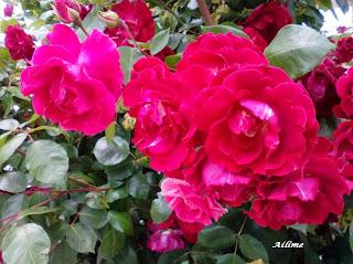 Belíssimas rosas