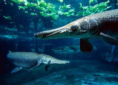 Alligator fish