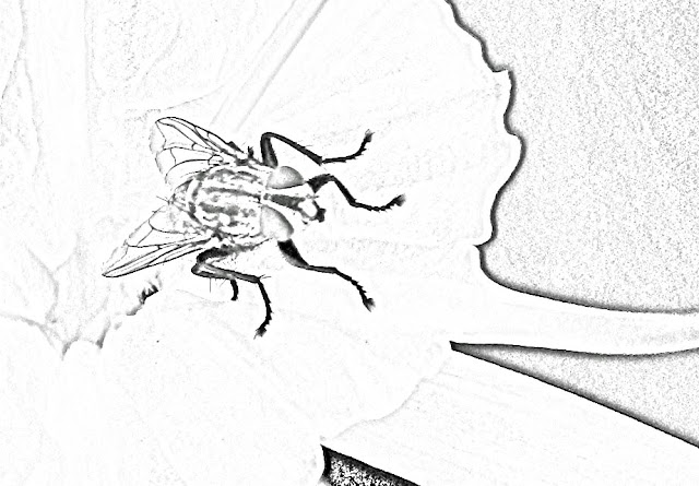 housefly sketch