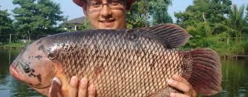 Cara Budidaya Ikan Gurame Yang Menguntungkan