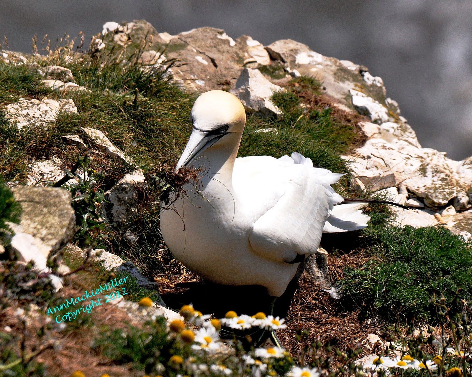 adult gannet with grass in its beak