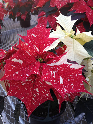 Red and white speckled poinsettia