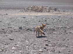 Coyote à la frontière bolivienne