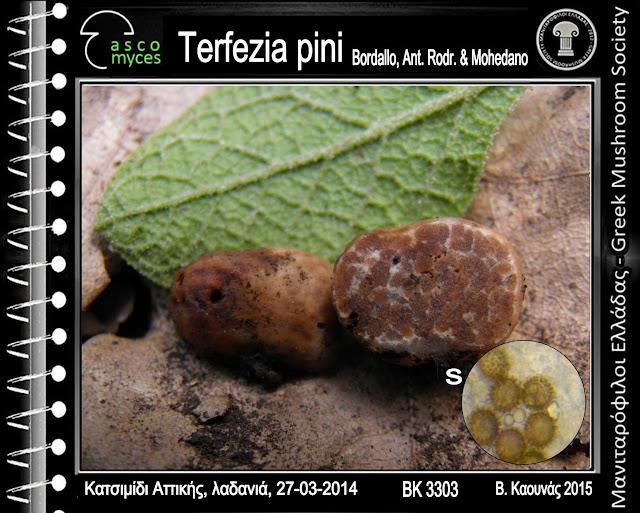 Terfezia pini Bordallo, Ant. Rodr. & Mohedano