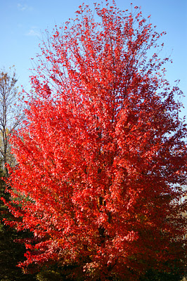 Autumn Blaze Tree4