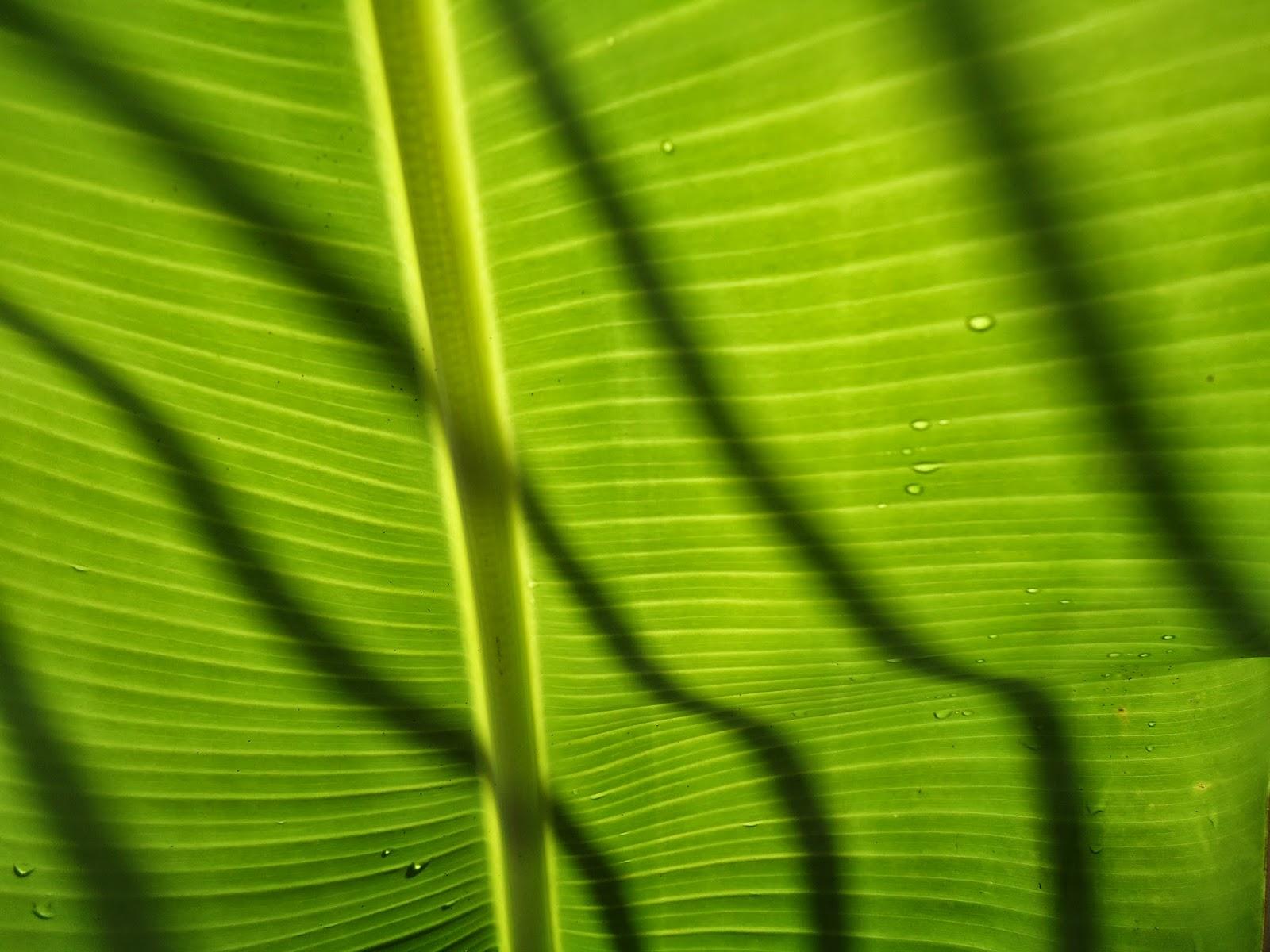 Imagem de uma bananeira em frente à sombra de uma grade.