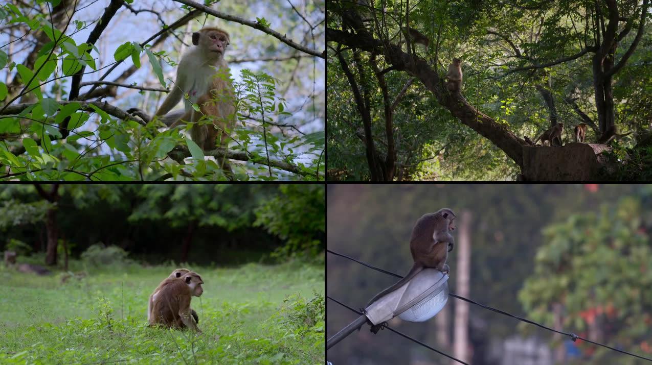 Monkey Kingdom (2015) 720p WEB-DL 600MB