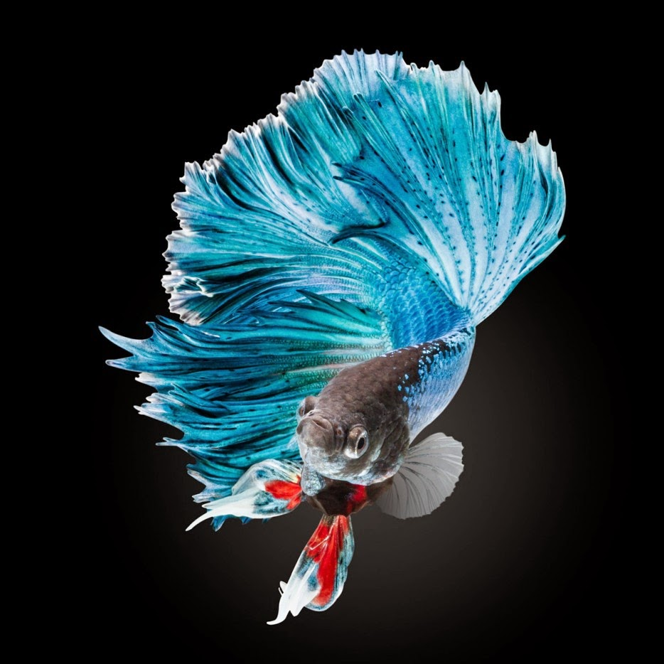 50 Powerful Photos Capture Extraordinary Moments In The Wild - An Elegant Blue Half-Moon Betta Fish.