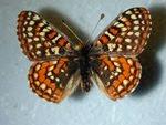 Kelebeğin ömrü ne kadardır?