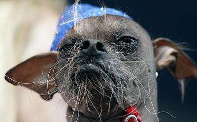 Anjing Terjelek Di Dunia, Mugly [ www.BlogApaAja.com ]