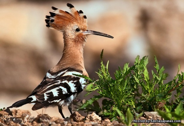 Burung Hud-huh