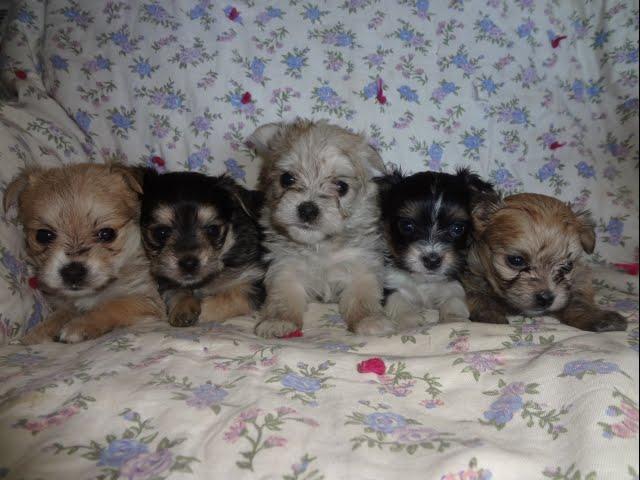 Chorkie puppies