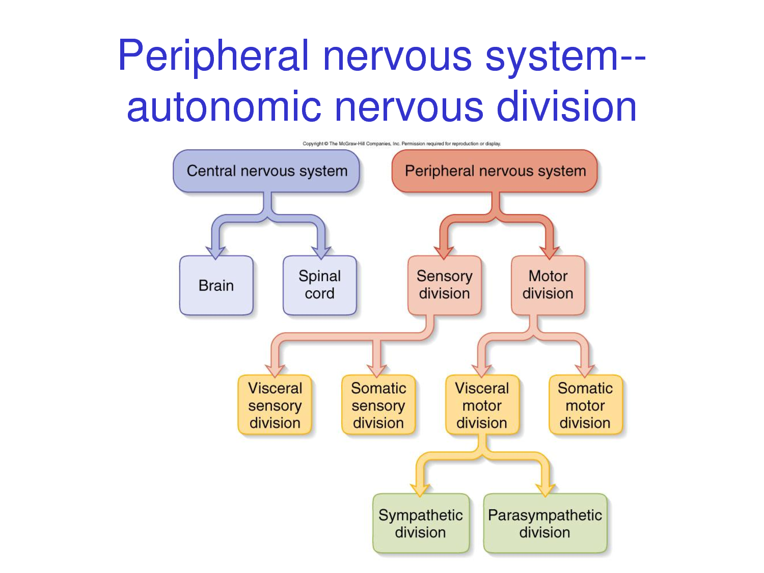 Nervous system nerves and neurons javi ciencias british the sympathetic and parasympathetic divisions of the ans serve the same effectors but have different effects on them usually opposite effects ccuart Choice Image