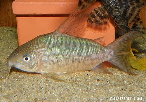 ... message blog: ??????/????(Corydoras pantanalensis