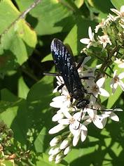 Big beautiful nonaggressive wasp
