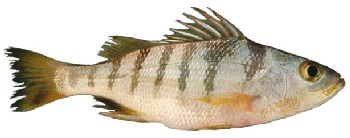 Caracteristicas peixes roncadores