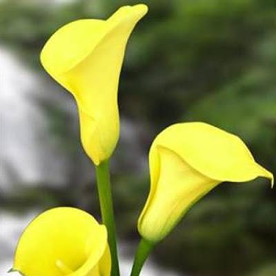Calla Florex Gold