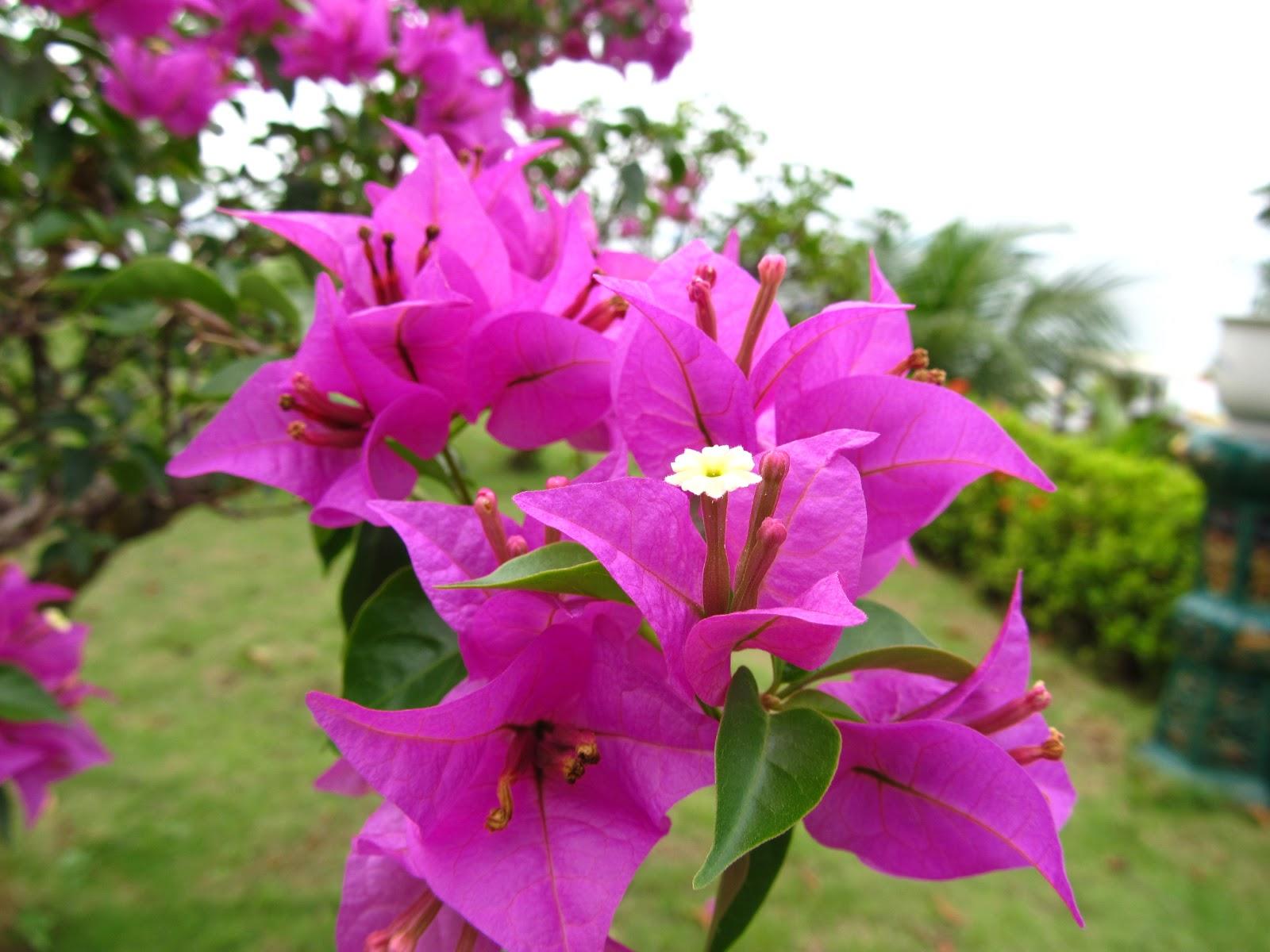 Morfologi tumbuhan praktikum vii rumus bunga dan diagram bunga black pearl ccuart Image collections