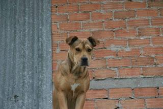 Χαρίζεται θηλυκό american pitbull x pitbull red nose, 3 ετών. Είναι πολύ φιλικό και γνωρίζει από βασικές εντολές