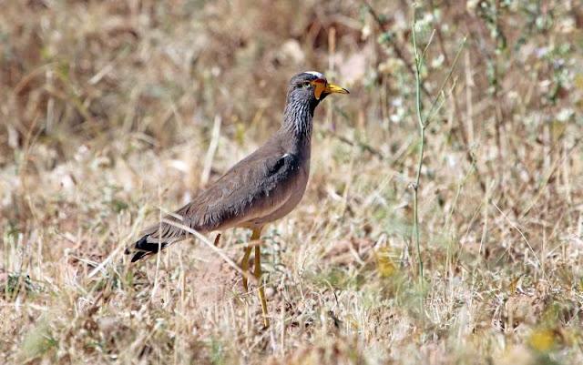 Senegal Wattled Plover
