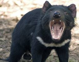 Less Aggressive of Tasmanian Devils Is A Key To Save From Extinction