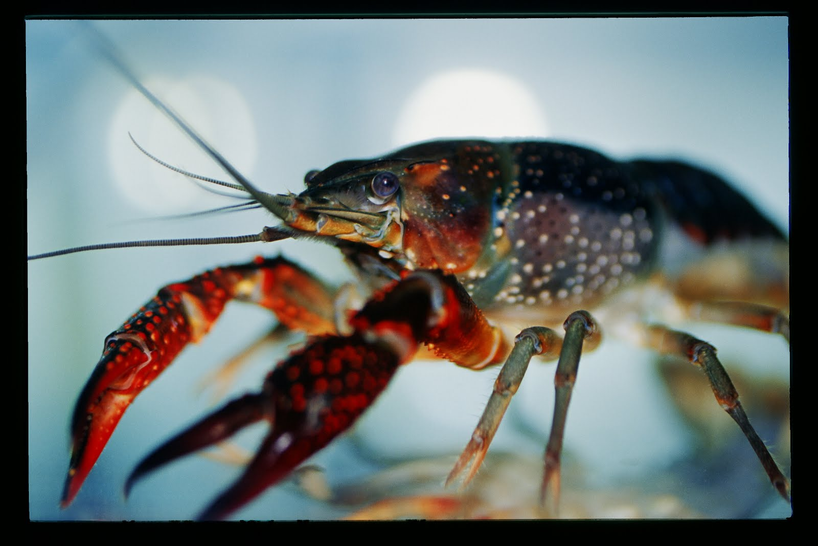 Virginia Living Museum | crabs and lobsters