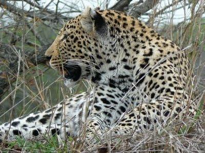 Lampart w Parku Krugera