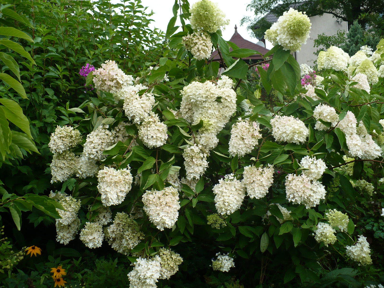 hydrangea hortensja hydrangea paniculata hortensja. Black Bedroom Furniture Sets. Home Design Ideas