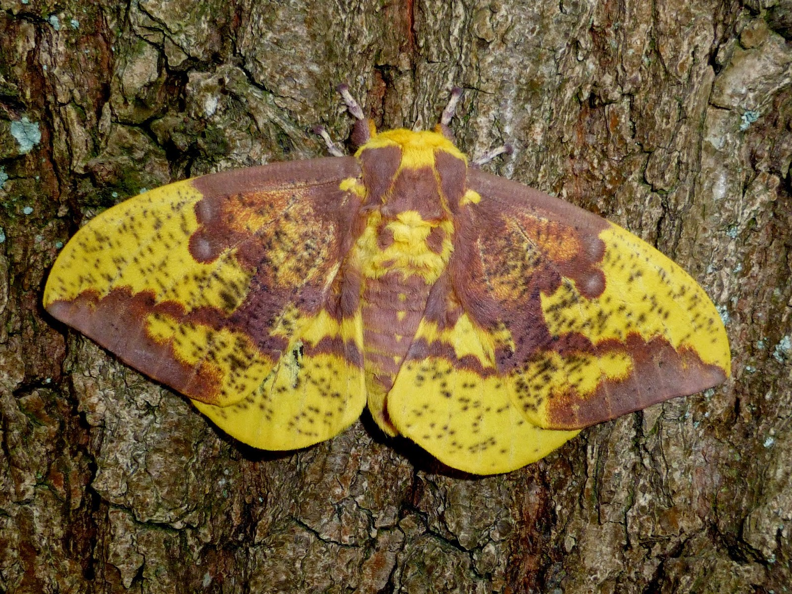 Eacles imperialis male