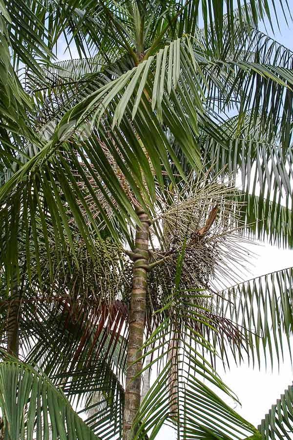 Acai berry palm tree