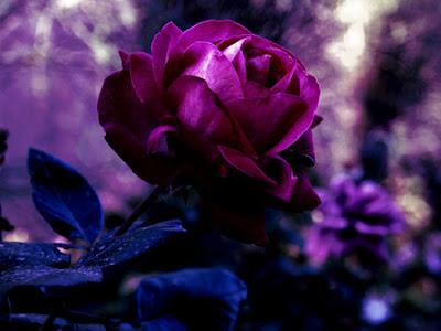 Purple Rose Photos