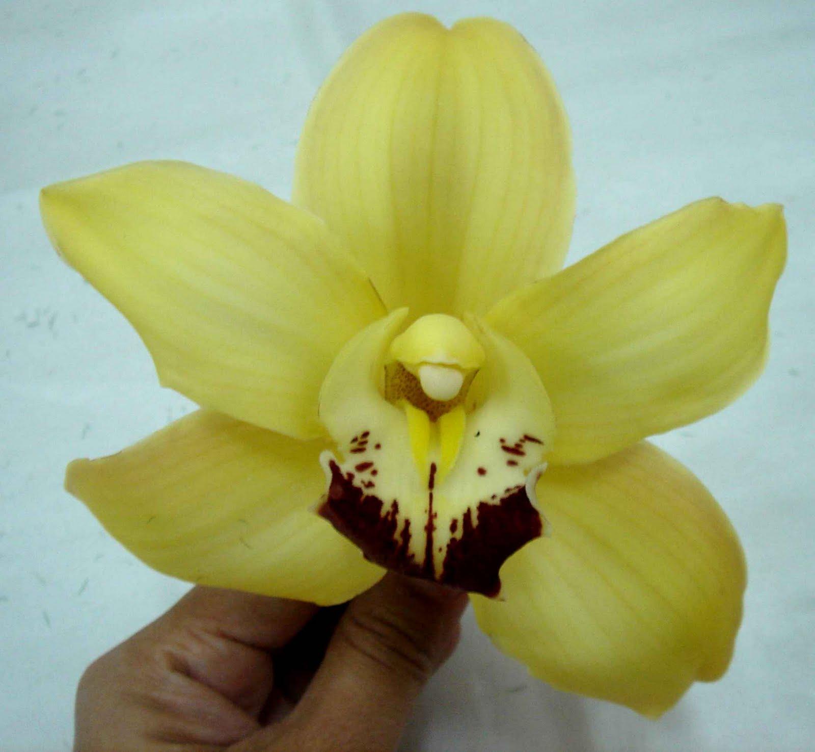 http://4.bp.blogspot.com/-pYacYukgcWY/Tf9_CYJmJrI/AAAAAAAAAVI/ygjSM1ugwNk/s1600/Cymbidium+Orchids+Flowers+Wallpapers+2.jpg