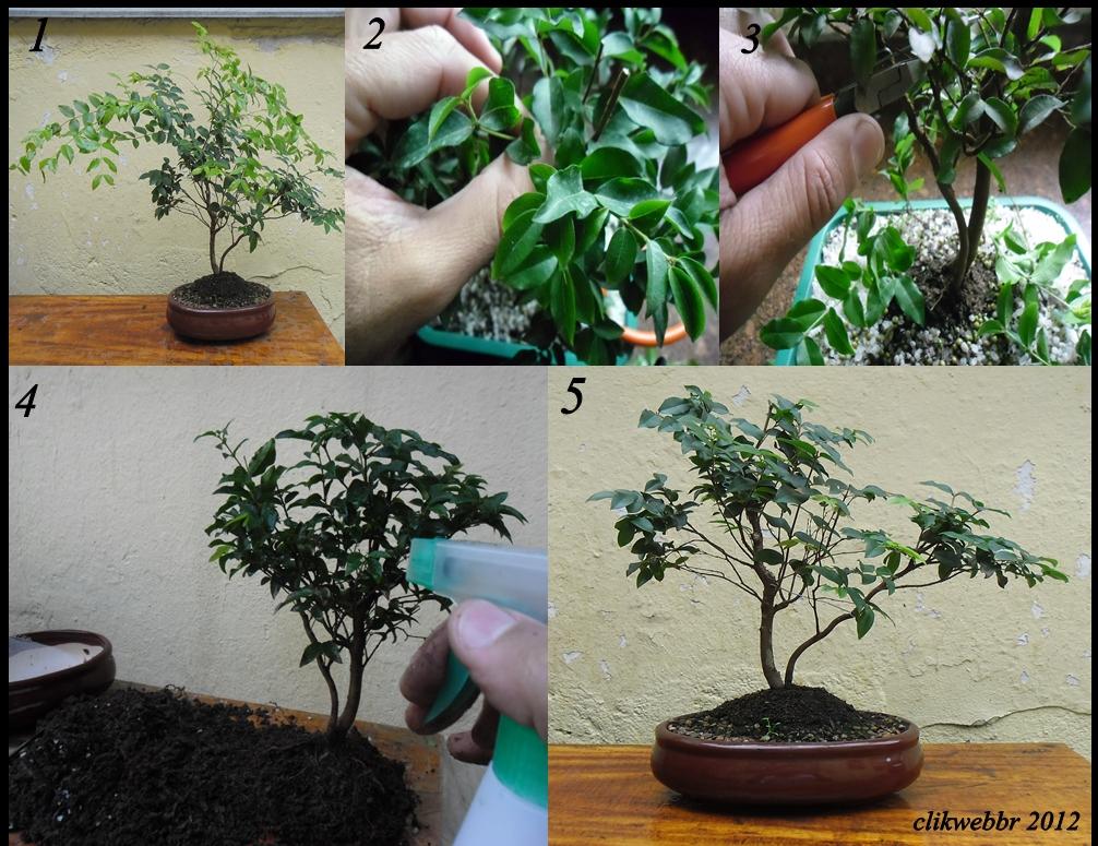 Mundo das plantas como cuidar e cultivar seu bonsai for Como cultivar bonsais